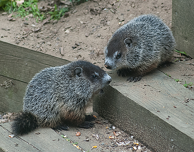 Two young woodchucks