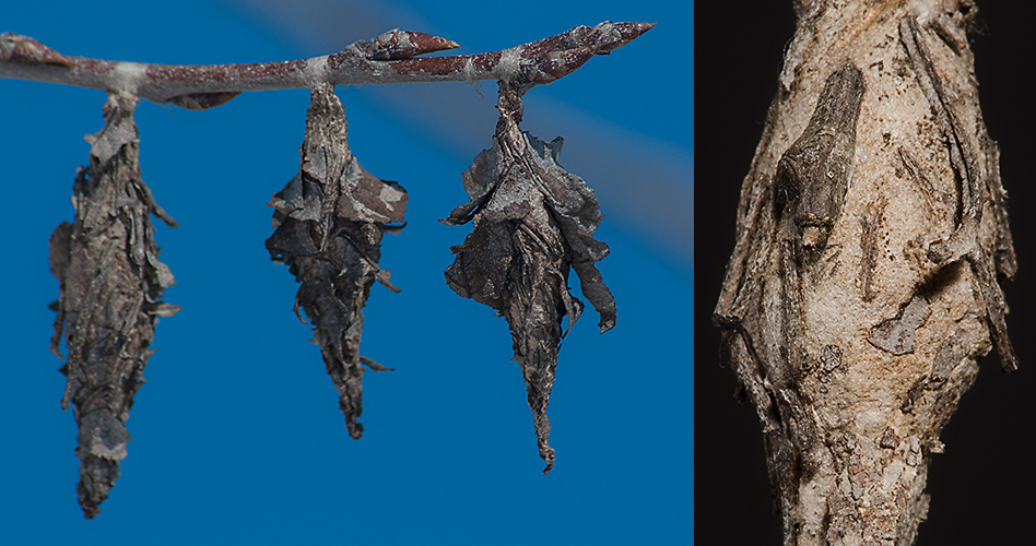 Thyridopteryx ephemeraeformi