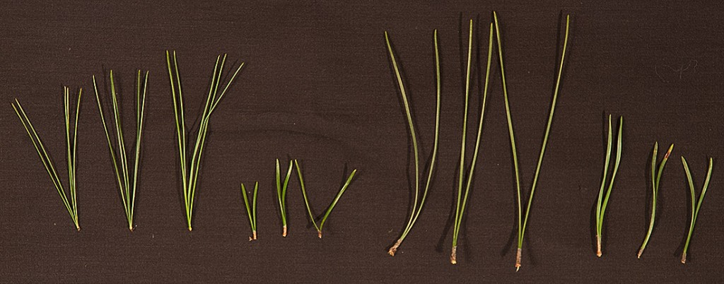 Pinus strobus banksiana resinosa sylvestris