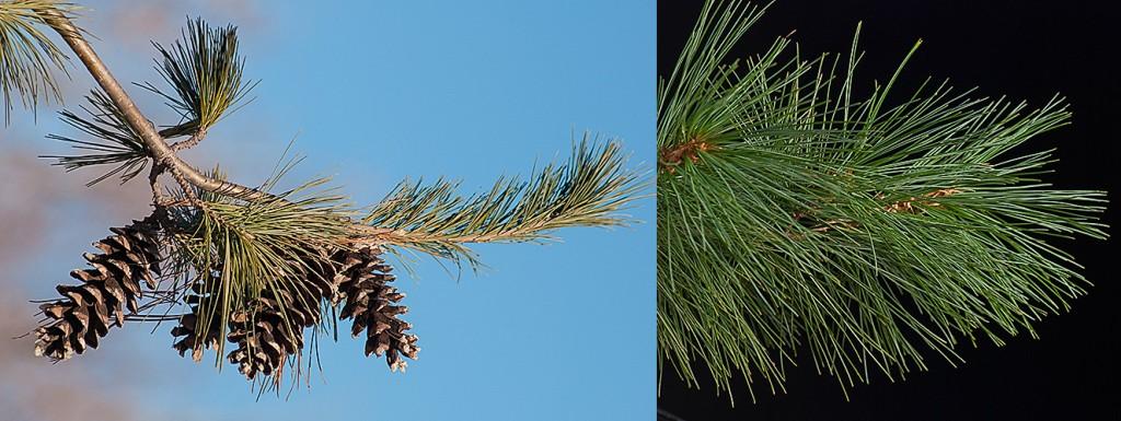 Pinus strobus White Pine