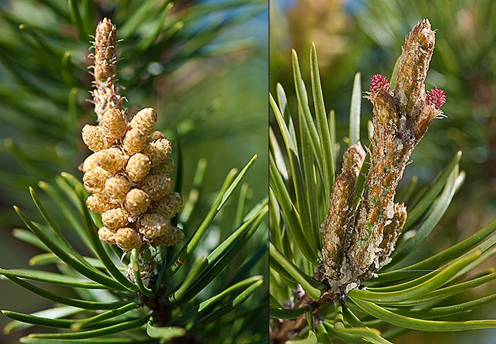 Pinus banksiana cones
