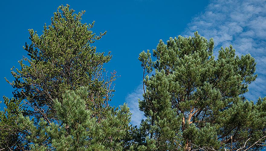 Pinus banksiana l_Pinus sylvestris r