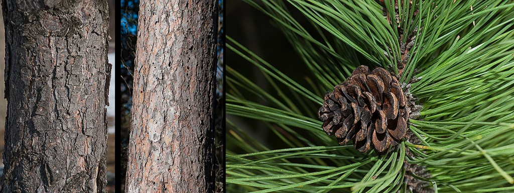 Pinus nigra bark l P. resinosa c P. resinosa r