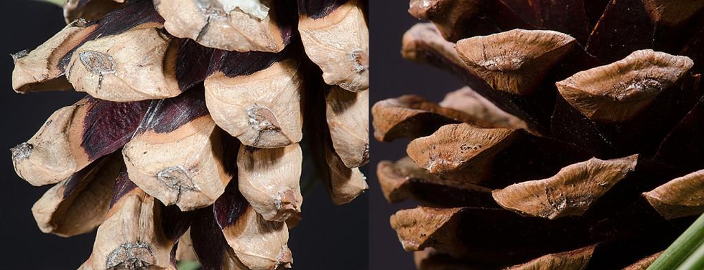 Pinus nigra l P. resinosa r