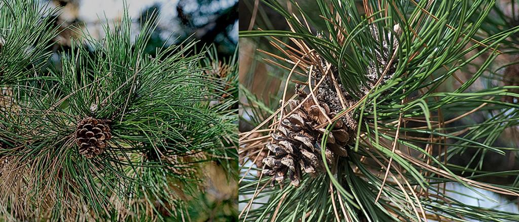 Pinus nigra  Black Pine