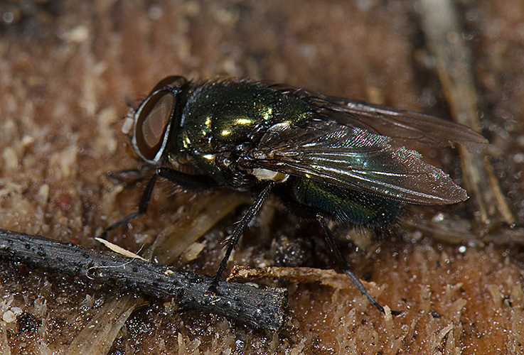 Lucilia sp. Green Bottle Fly