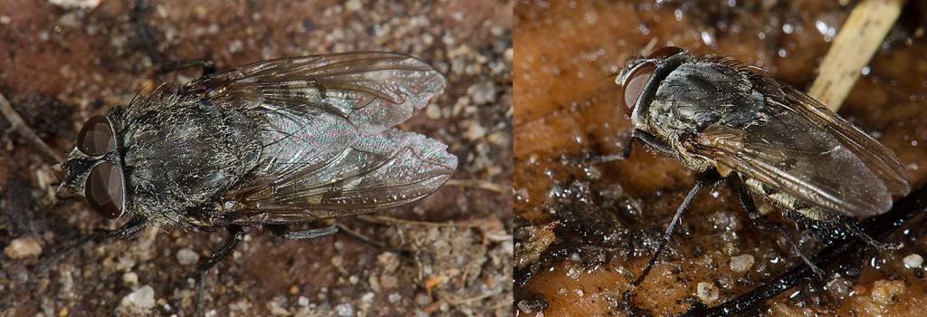 Pollenia sp.  Cluster Fly