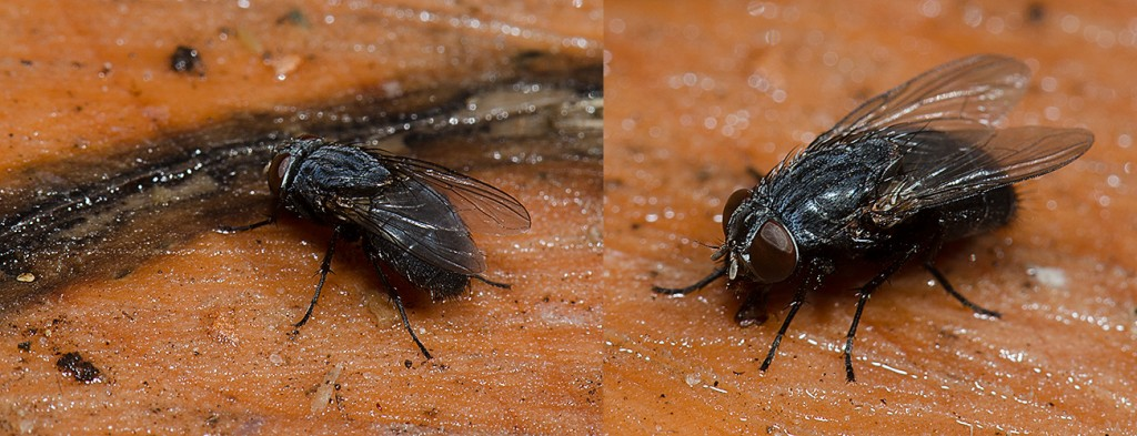 Parasitic fly Ptilodexia sp.