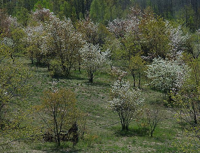 Amelanchier Juneberries