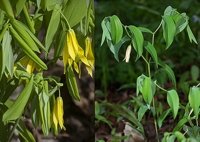 Large-flowered Bellwort - L, Sessile Bellwort - R