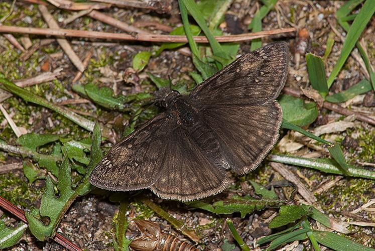 Erynnis lucilius  Columbine Duskywing