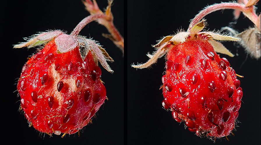 Fragaria virginiana Wild Strawberry Fruit
