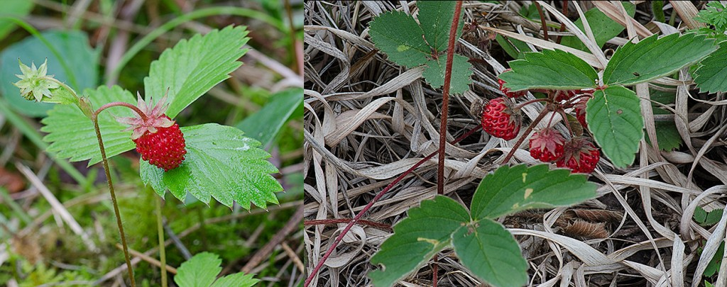 Fragaria vesca Fragaria virginiana  Woodland and Wild Strawberry