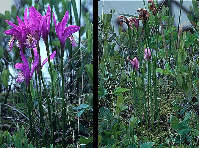 Arethusa bulbosa-Flowers-Leaves