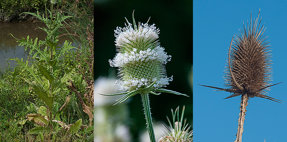 Dipsacus-laciniatus-habit-flower-seedhead