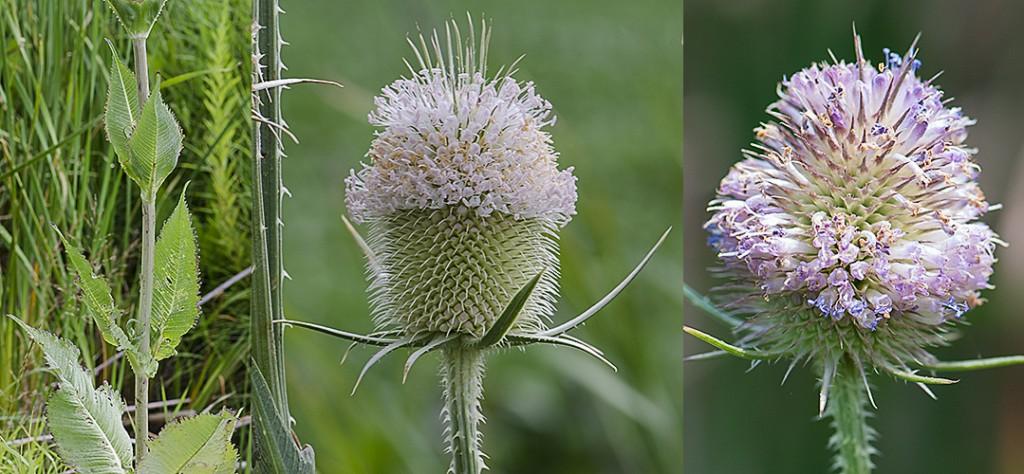 Dipsacus fullonum-habit-white flower-lavender