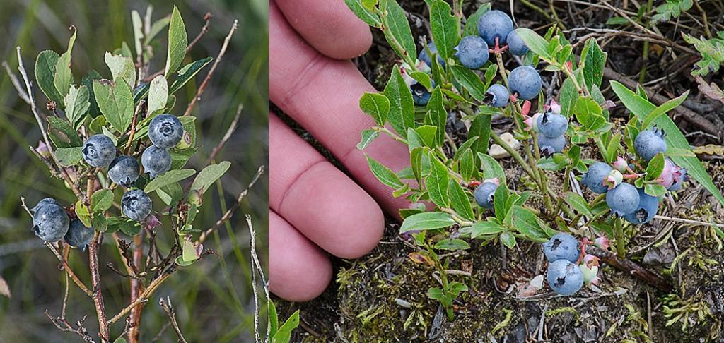Vaccinium augustifolium habit