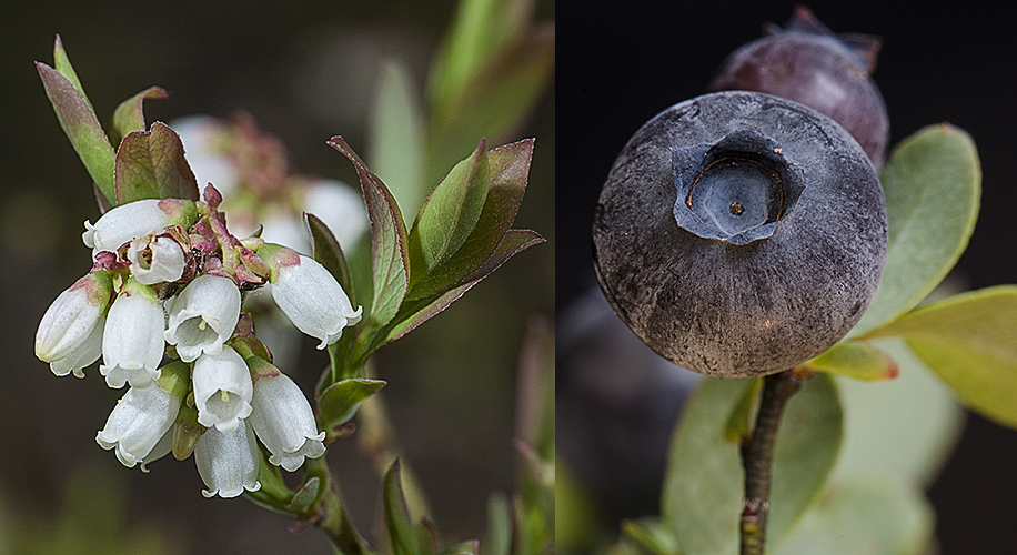Vaccinium augustifolium Flowers and Fruit