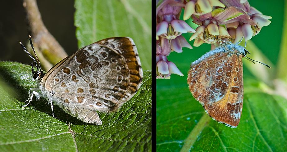 Adult Harvester Butterflies