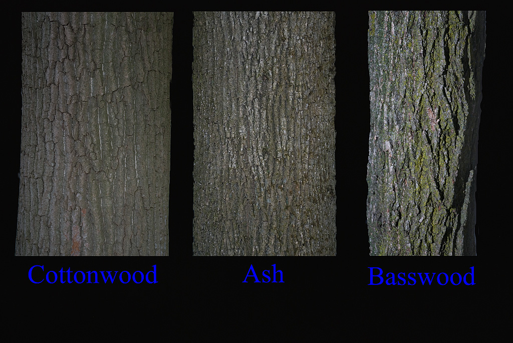 Cottonwood,Ash, Basswood bark