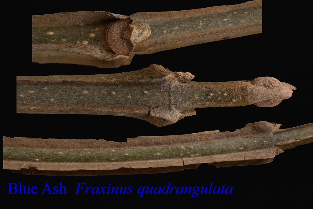 Fraxinus quadrangulata