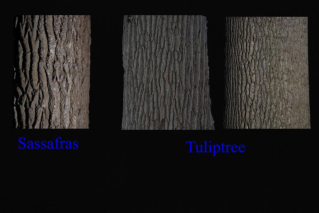 Sassafras, Tuliptree bark
