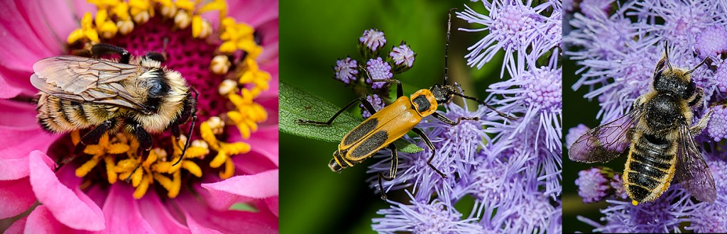 Golden Northern Bumble Bee -L  Goldenrod Soldier Beetle - C    Leaf Cutter Bee - R
