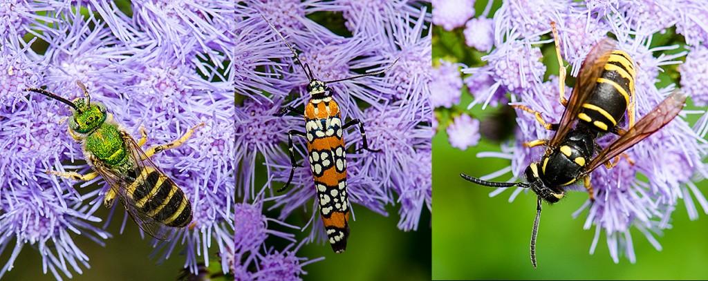 Splendid Green Metallic Bee - L Ailanthus Moth - C Eastern Yellowjacket - R