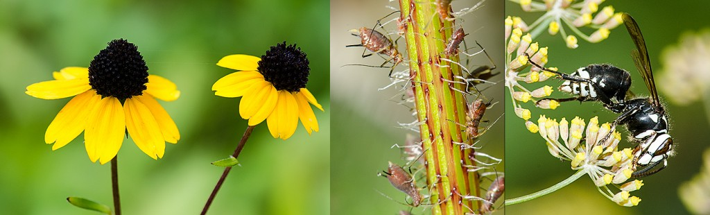 Thin-leaf Coneflower - L  Pinkish Aphids - C   Bald Face Hornet - R