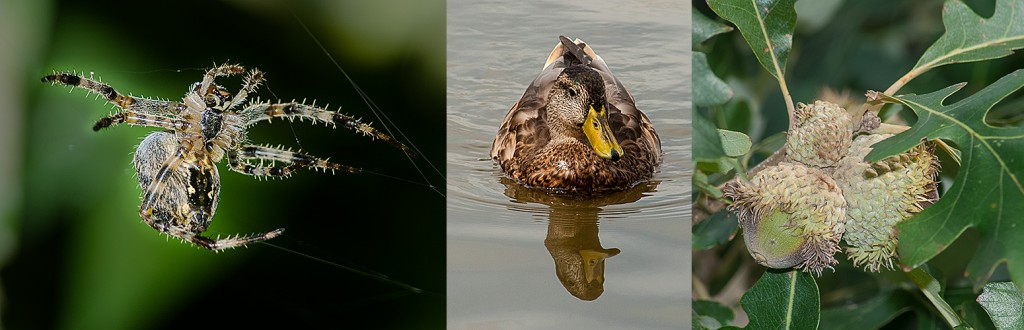 Cross Orbweaver - L Mallard x Black Duck hybrid - C Burr Oak acorns - R