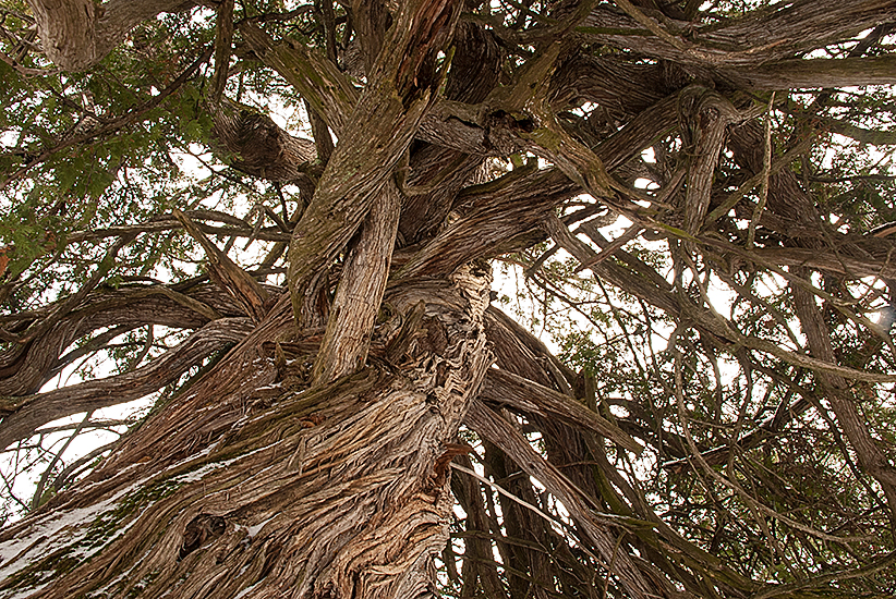 Canopy of large Thuja occidentalis