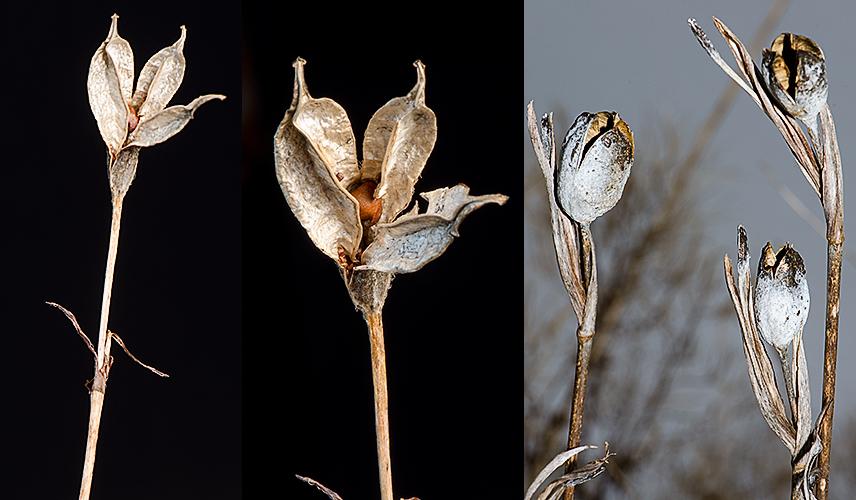 Iris spp. seedpods