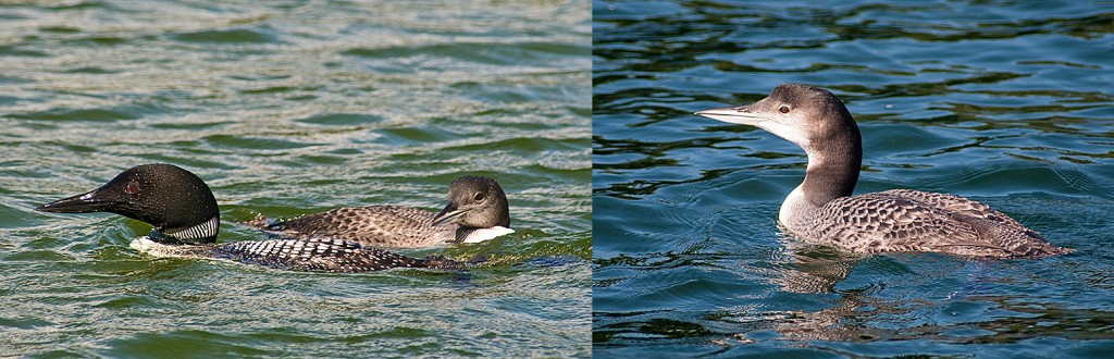 L-Adult Common Loon with young of year R-Young of year