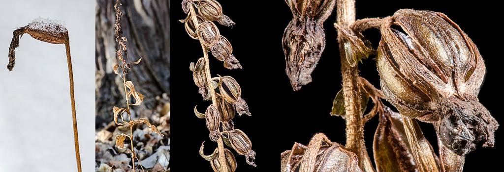 Cypripedium acaule Epipactis helleborine