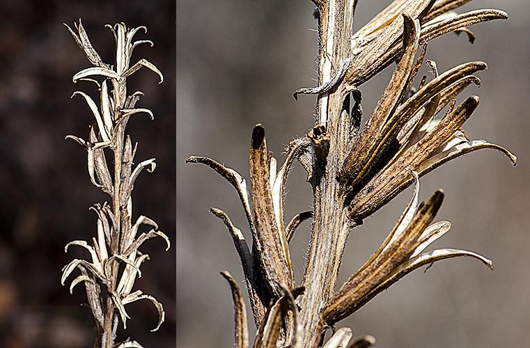 Oenothera spp