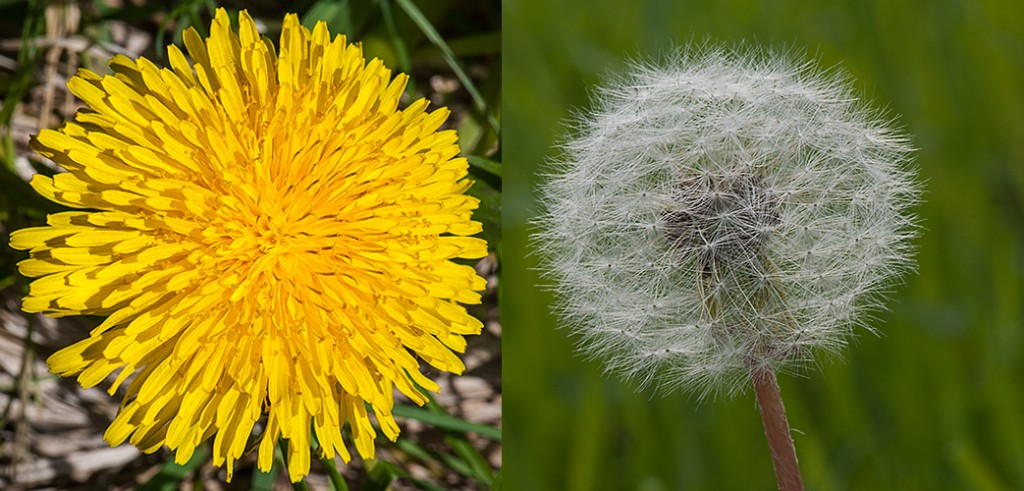 L- Dandelion flower head R- Dandelion seed head