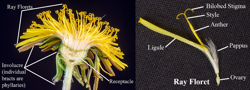 L-Sectioned Dandelion seed head  R- Ray floret with parts labeled