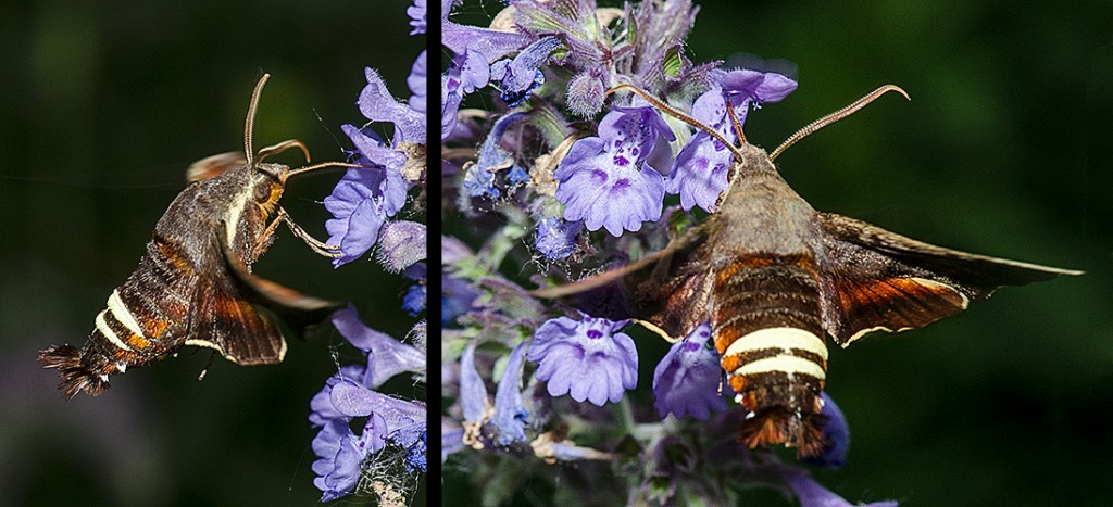 Hummingbird Moth The Michigan Nature Guy S Blog