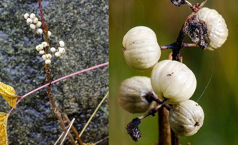 Toxicodendron rydbergi