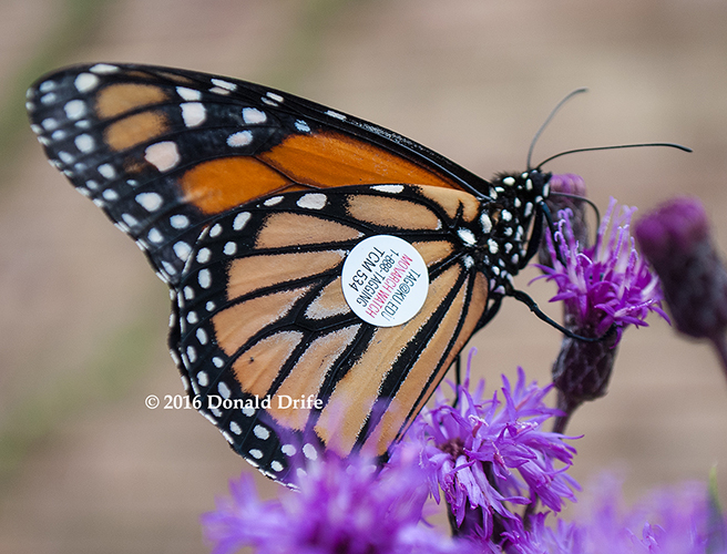 Watch for tagged Monarchs