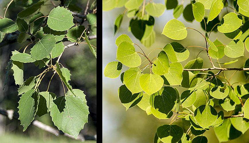 Populus grandidentataPopulus tremuloides
