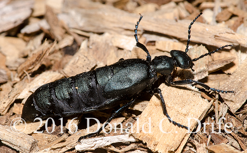 meloe-sp-oil-beetle-1