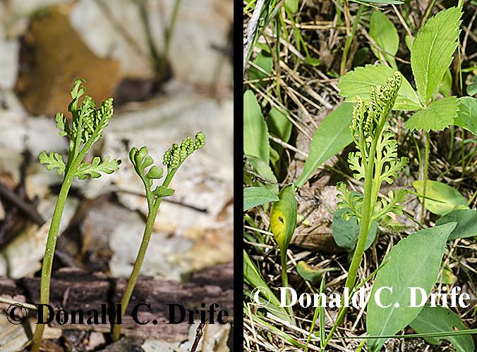 Botrychium-matricariifolium