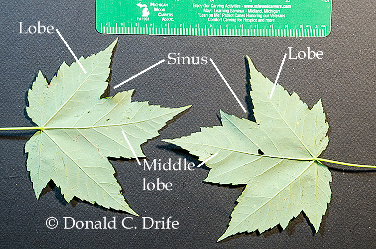 Michigan Maples The Michigan Nature Guy S Blog,Personal Space Meme